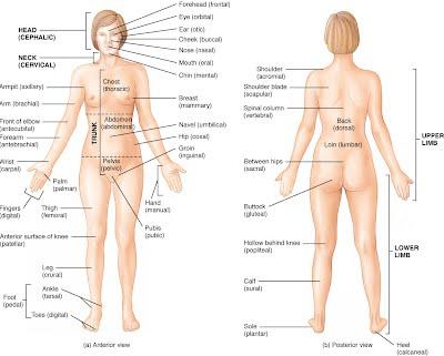 Human Body Systems Vanessad545