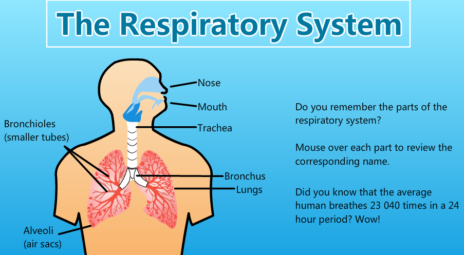 The Respiratory System Grade 5 Science Unit 1 Human Organ Systems
