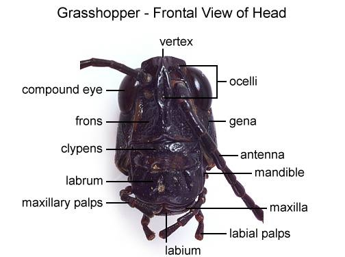 Jan 413 Glorious Grasshopper Dissection Lab 7s – Grasshopper Dissection Worksheet