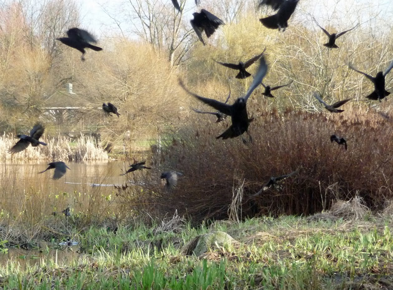 Flock of Crows, image by Sandy Shreve