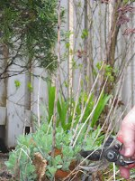 winter cleanup of perennials for spring