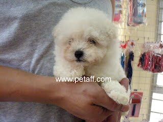 Taiwan Imported Show Quality / Premium Grade Puppies For