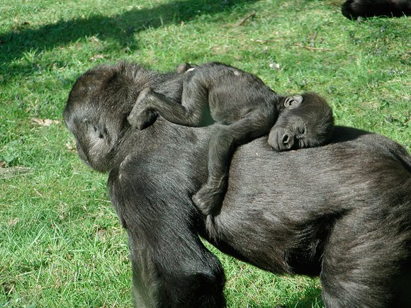 Life Cycle and Reproduction - Gorilla~Facts