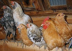 Chickens on perch