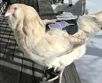 Chicken saddle for bare-backed hen