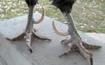 Roosters spurs curved up