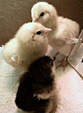 Baby chicks good flooring for brooder to prevent splayed leg