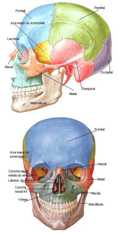 Nasais zigom 225 ticos ou malares palatinos maxilas e osso hi 243 ide