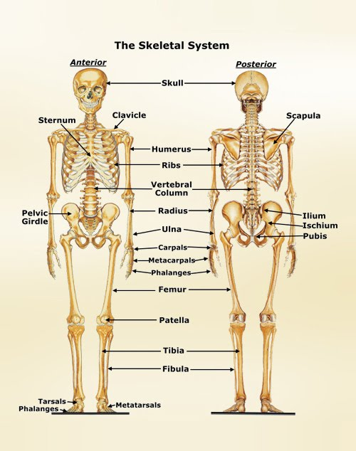 Anatomy Physiology Skeletal System Diagram Trusted Wiring Diagram