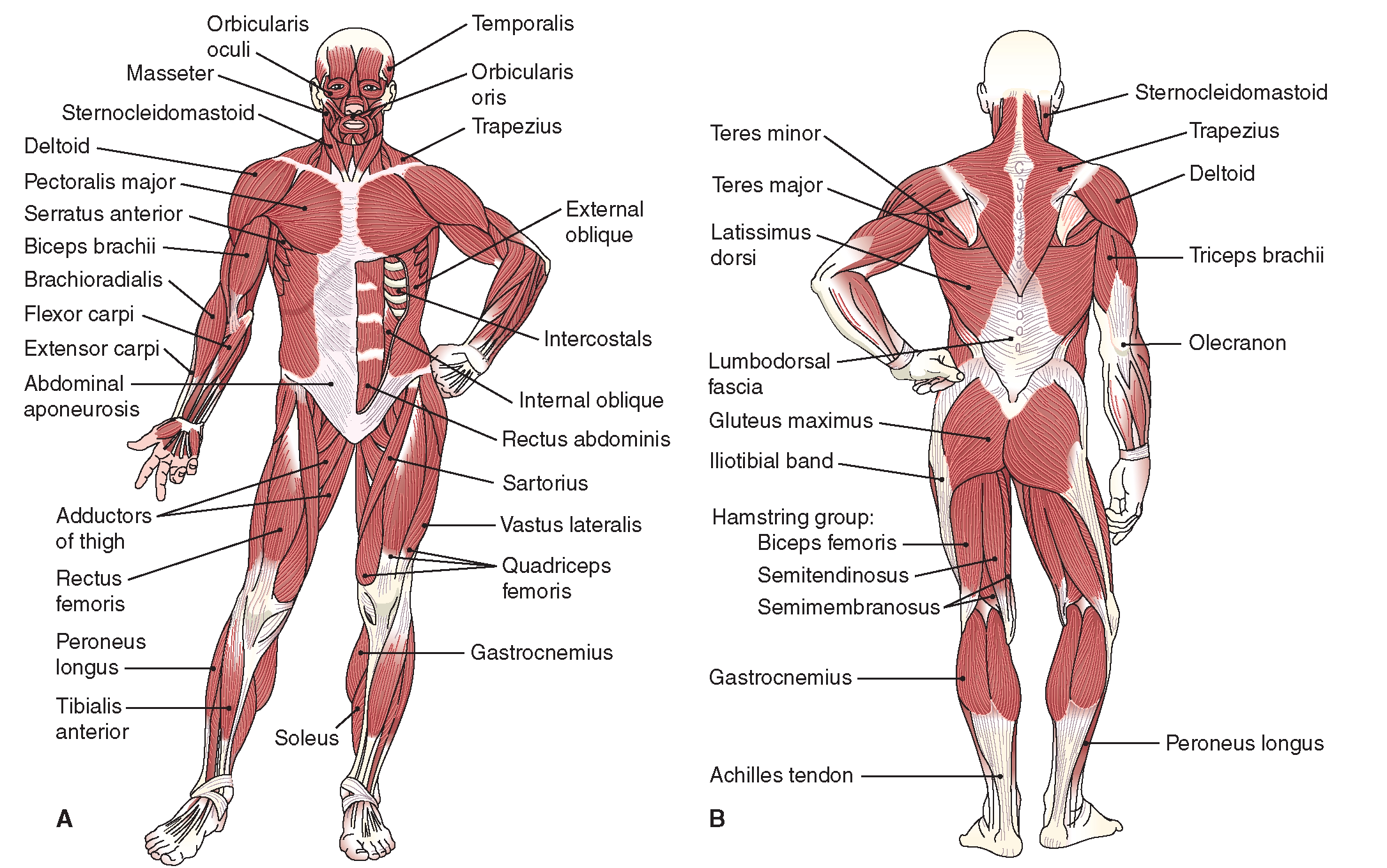 Muscular System - Ms. House\'s Classroom Website