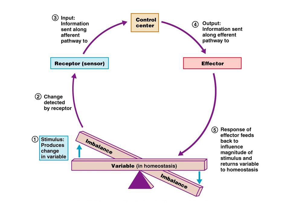 Homeostasis Feedback Loops (Group Poster Design) - Ms. House\'s ...