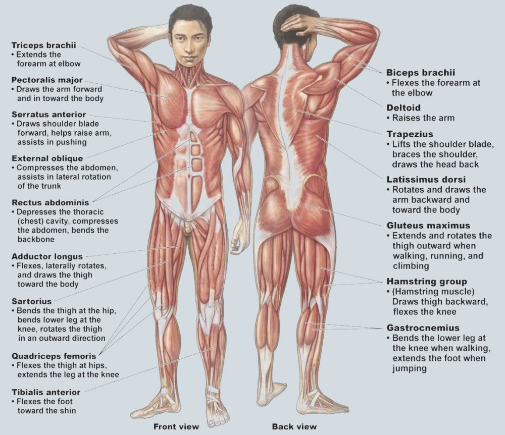 Muscular System Ms Houses Classroom Website