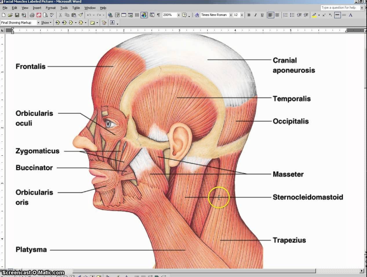 Muscular System Head Diagram Great Installation Of Wiring Diagram