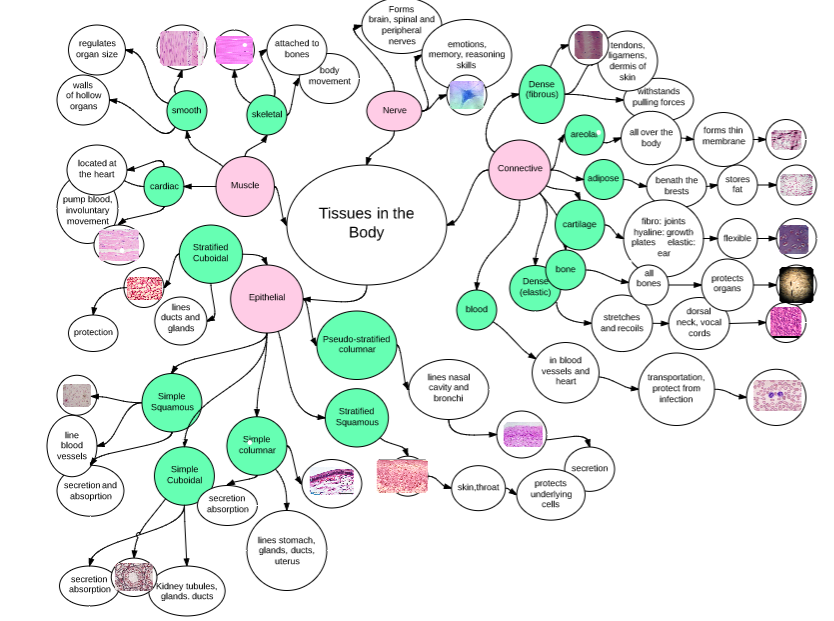 Concept Map Explorations Anatomy Physiology Kailynn Reyes