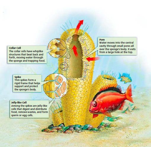 diagram of a sponge cell images