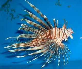 Volitan Lionfish | Lionfish Pterois Volitans Invasive