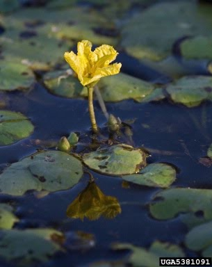Yellow Floating Heart Nymphoides Peltata Invasive