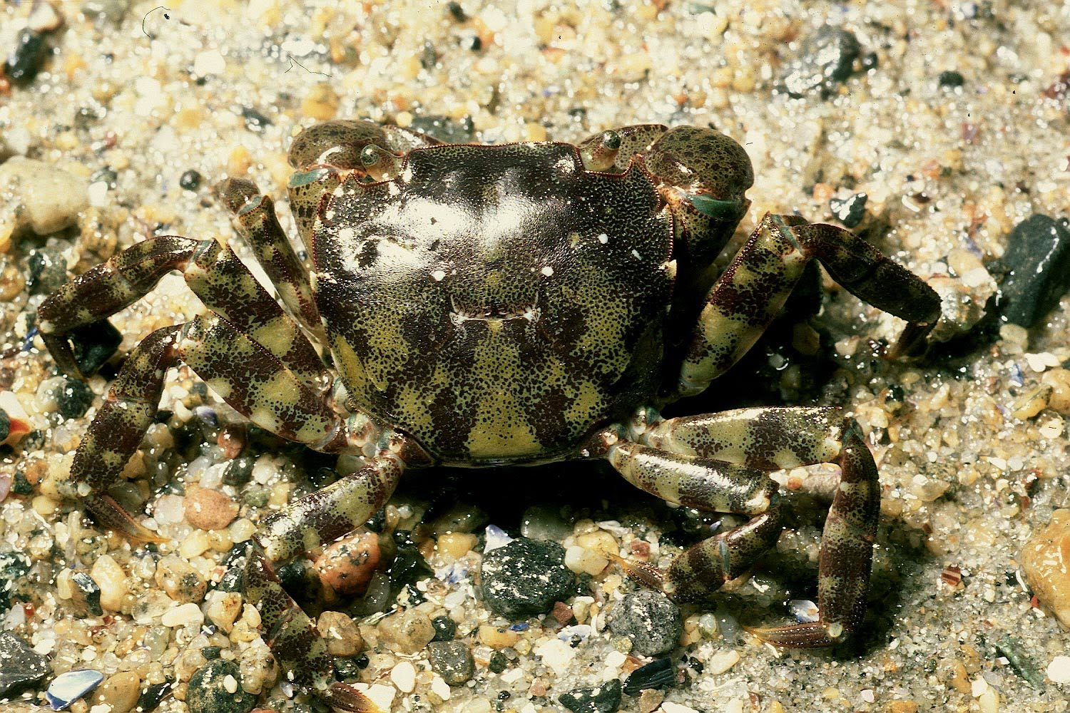 The asian shore crab