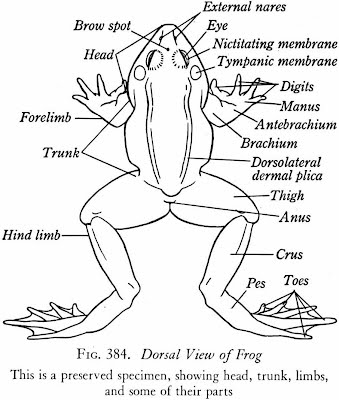 Frog Dissection Msmitchell