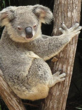 Tiffany - Koala - Australian Animals