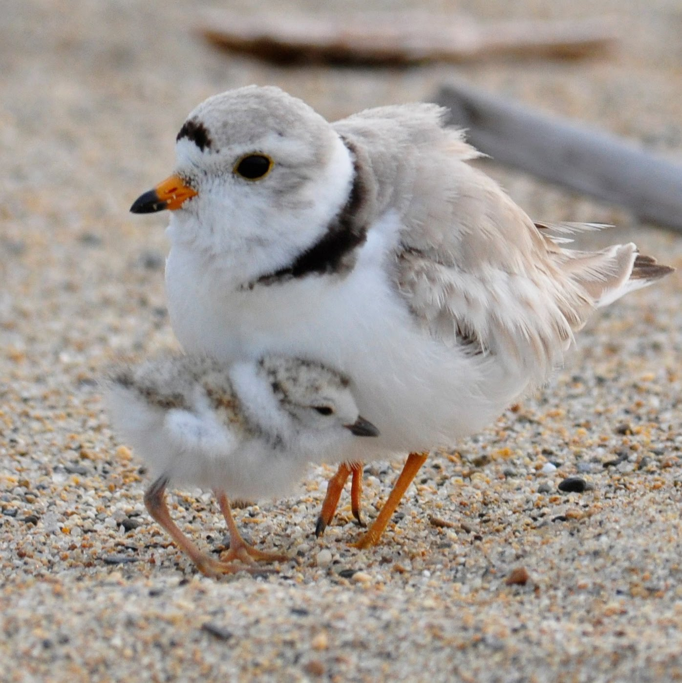 plover adult & chick