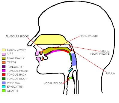 What is phonetics aal2013 diagram of the mouth ccuart Image collections