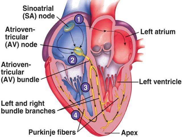 Cardiovascular System Electrocardiogram Ecg 32 Diatom On A String