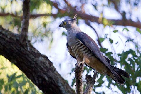 Birds Of Prey In Australia Australia