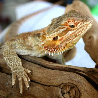 Bearded Dragons - TMSJournal15A