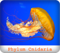 https://sites.google.com/a/srk.ac.th/biologysrk/phylum-cnidaria