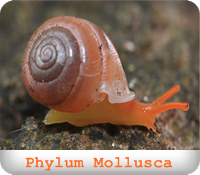 https://sites.google.com/a/srk.ac.th/biologysrk/phylum-mollusca