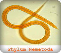 https://sites.google.com/a/srk.ac.th/biologysrk/phylum-nematoda