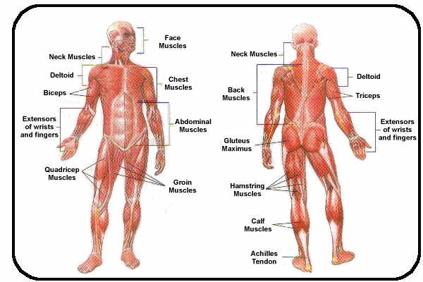Muscular System - 2 period group 3