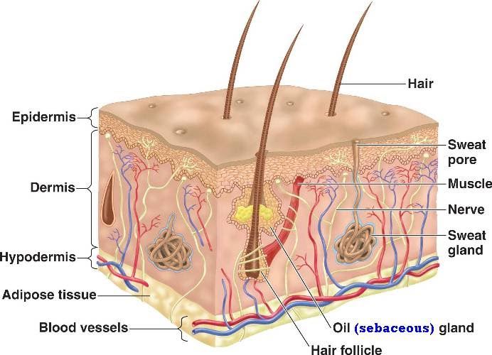 integumentary system 2 Integumentary system - want to learn more about it our engaging videos, interactive quizzes, in-depth articles and hd atlas are here to get you top results faster sign up for your free kenhub.