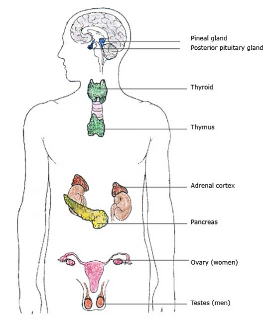 pancreas gland function in the endocrine system
