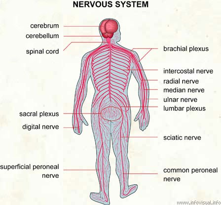 Nervous system 2nd period group 7 tennis diagram ccuart Choice Image