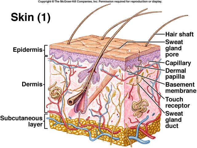 Integumentary System - 2nd Period Swimming Group 6