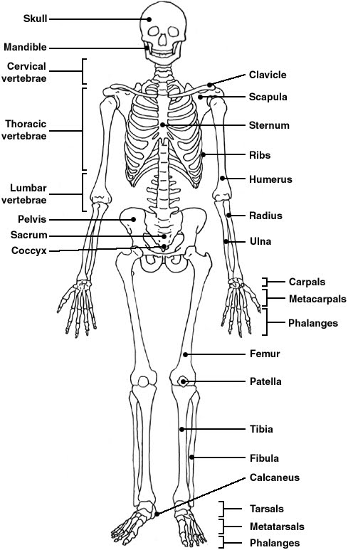 Skeletal System on endocrine system diagram worksheet