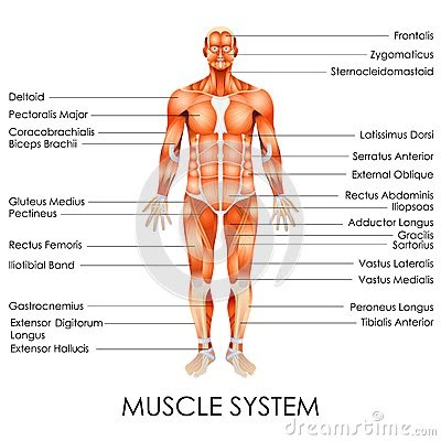 Running Muscle System Diagram Complete Wiring Diagrams