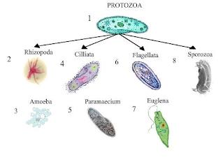 animal like protists