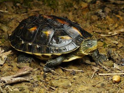 「斑龜」的圖片搜尋結果