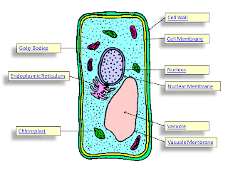 Cell project adonis abdullah the primary differences between the 3 cells is that a plant cell has a large vacuole chloroplast and a cell wall a bacteria cell has only a fraction of sciox Image collections