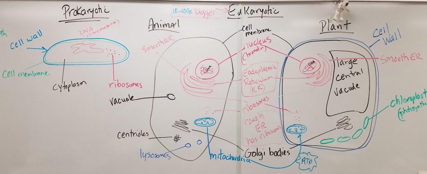 Cell diagrams jones biology cell diagrams pooptronica