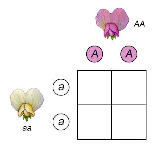 http://www.siskiyous.edu/class/bio1/genetics/monohybrid_v2.html