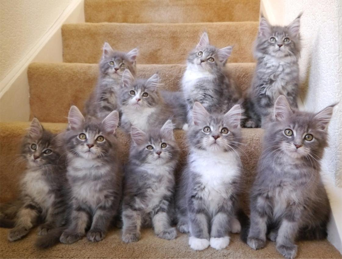 Adopt A Maine Coon Now Bbr Classical Site