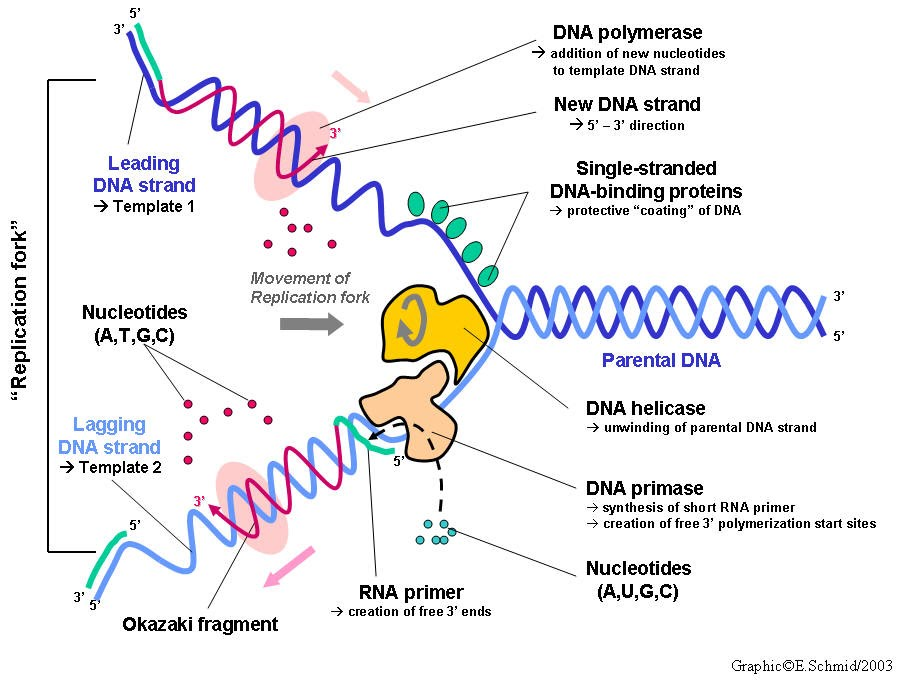 Dna replication worksheet quizlet