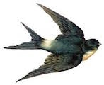 Swallow in flight.