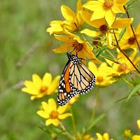 Monarch butterfly on yellow flowers.