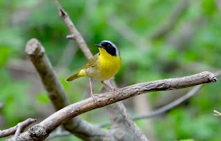 Common Yellowthroat Warbler perched on branch.