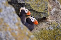 Two Puffin birds peeking out from cliff nest.
